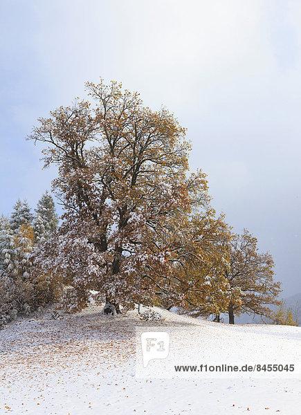 Baum Laub Österreich Schnee Tirol
