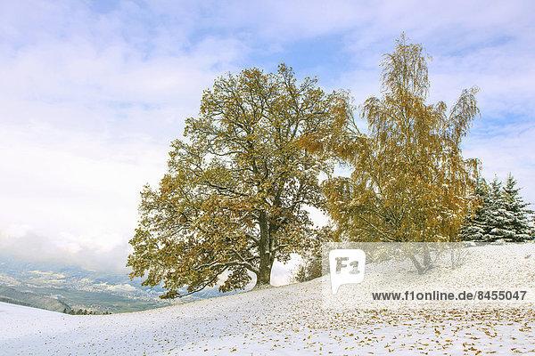Bäume mit Herbstlaub und Schnee  Windegg  Tulfes  Inntal  Tirol  Österreich
