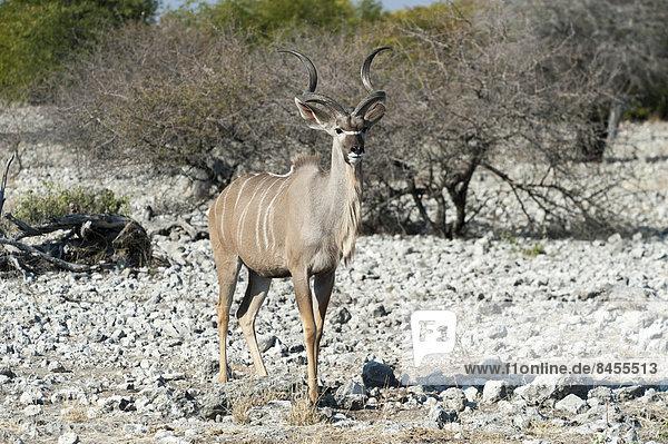 Kudu (Tragelaphus strepsiceros)  Männchen steht auf felsigen Boden  Etosha Nationalpark  Namibia