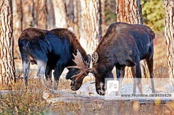 Bulle  Stier  Stiere  Bullen  Wald  Ehrfurcht  Fluss  Norden  vorwärts  Elch  Alces alces  Wyoming