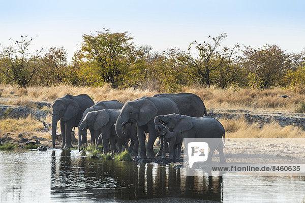 Afrikanische Elefanten (Loxodonta africana)  Elefantenherde an der Wasserstelle Nuamses  Etosha-Nationalpark  Namibia