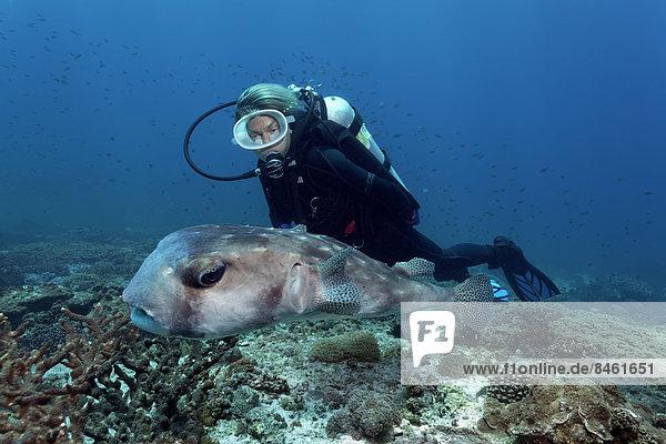 Taucherin betrachtet Pazifischen Igelfisch (Chilomycterus affinis) über Korallenriff  UNESCO Weltnaturerbe  Great Barrier Reef  Australien  Pazifik