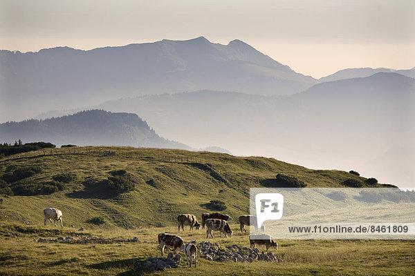 Kühe grasen auf Almwiese im Rofangebirge  bei Brandenberg  Tirol  Österreich