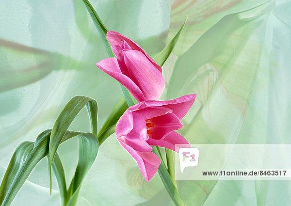 Tulip Blumen