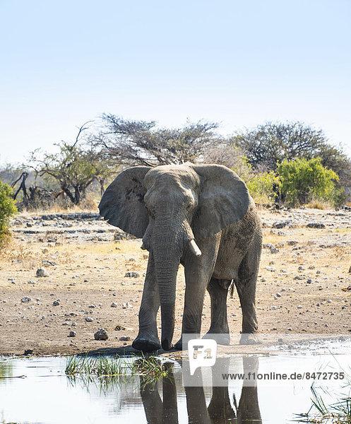 Afrikanischer Elefant (Loxodonta africana) steht am Wasser  Etosha Nationalpark  Wasserstelle Koinachas  Namibia