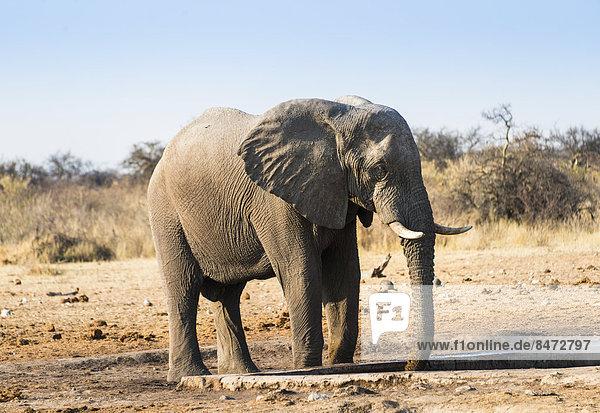 Elefant trinkt am Wasserloch  Afrikanischer Elefant (Loxodonta africana)  Etosha Nationalpark  Wasserstelle Tsumcor  Namibia