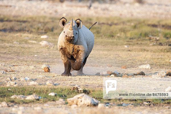 Spitzmaulnashorn (Diceros bicornis)  Etosha National Park  Namibia