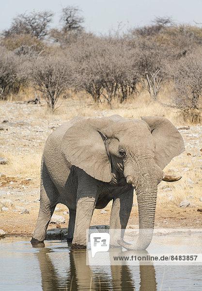 Elefant beim Trinken  Afrikanischer Elefant (Loxodonta africana)  Wasserstelle Koinachas  Etosha National Park  Namibia