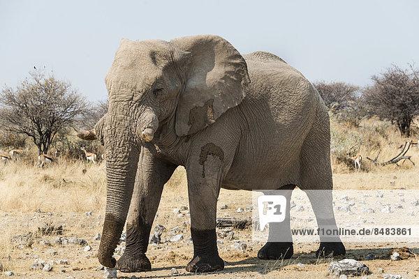 Elefant läuft mit nassen Füßen über trockenes Grasland  Afrikanischer Elefant (Loxodonta africana)  Etosha National Park  Namibia