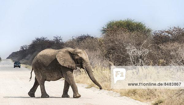 Junger Elefant läuft über die Straße  Afrikanischer Elefant (Loxodonta africana)  Etosha National Park  Namibia