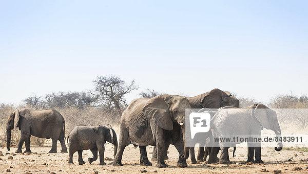 Elefantenherde  Afrikanischer Elefant (Loxodonta africana)  Wasserstelle Tsumcor  Etosha National Park  Namibia Elefantenherde, Afrikanischer Elefant (Loxodonta africana), Wasserstelle Tsumcor, Etosha National Park, Namibia