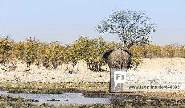 Afrikanischer Elefant (Loxodonta africana) von hinten an der Wasserstelle Rietfontein  Etosha Nationalpark  Namibia