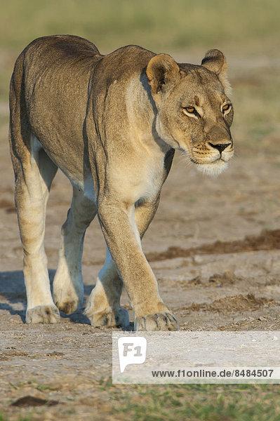 Lioness (Panthera leo)  Namutoni  Etosha National Park  Namibia
