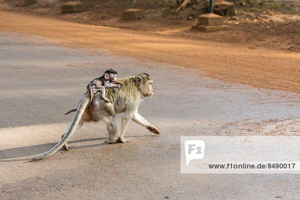 lang  langes  langer  lange  jung  über  Südostasien  Schwanz  Tierschwanz  Vietnam  Mutter - Mensch  Angkor  Asien  Kambodscha  Makak  Siem Reap