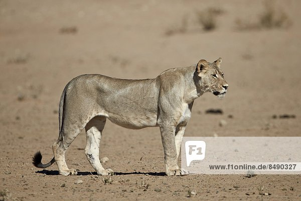 Lion (Panthera leo)  Kgalagadi Transfrontier Park  encompassing the former Kalahari Gemsbok National Park  South Africa  Africa
