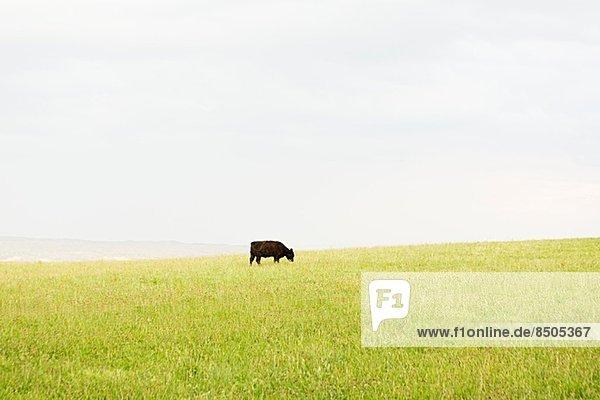 Schwarze Kuh  die allein auf einer Wiese grast.