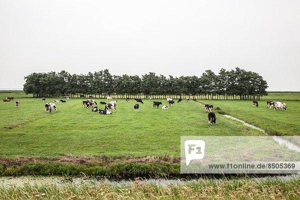 Herde von Kühen  die auf Feldern grasen  die von einem Wassergraben umgeben sind.