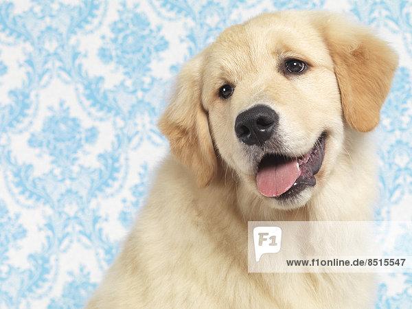 Golden Retriever  Welpe  4 Monate
