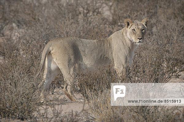 Lion (Panthera leo)  Kgalagadi Transfrontier Park  Northern Cape  South Africa