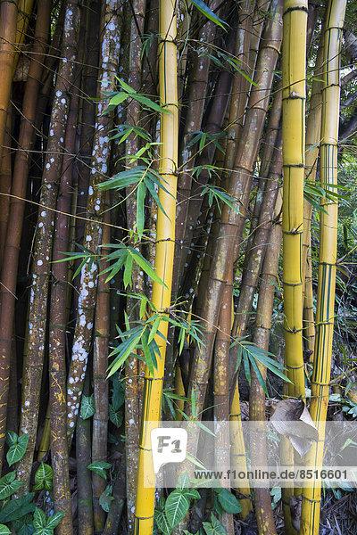 Bamboo (Bambuseae)  Seychelles