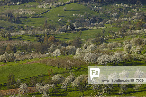 Kirschblüte im Eggener Tal  Obereggenen  Schliengen  Baden-Württemberg  Deutschland