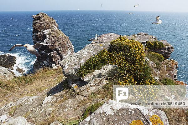 Frankreich  Bretagne  Cap Frehel  Europäische Silbermöwen (Larus argentatus) in La Fauconniere