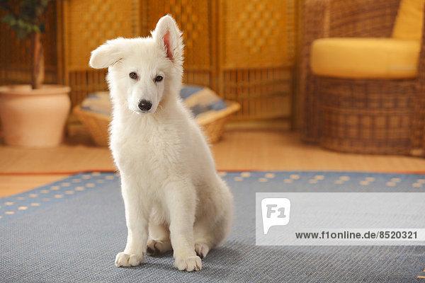 Berger Blanc Suisse  Weißer Schweizer Schäferhund  Welpe  auf Teppich sitzend