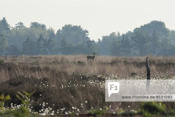 Deutschland  Nordrhein-Westfalen  Recker Moor  Landschaft mit Rehwild