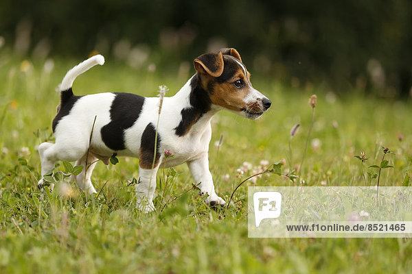 Deutschland  Baden-Württemberg  Jack Russel Terrier Welpe läuft auf der Wiese