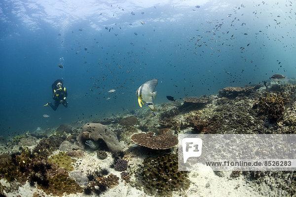 Taucher an einem Riff  Golf von Oman  Oman