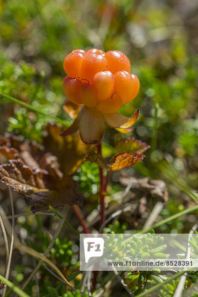 Moltebeere (Rubus chamaemorus)  Troms  Norwegen