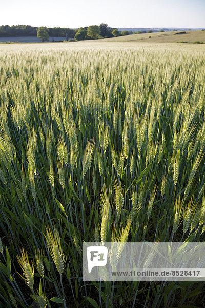 Weizen (Triticum spp.) auf einem Feld im späten Frühjahr  Region Limousin  Frankreich