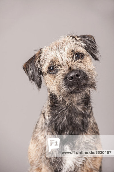 Portrait Border Terrier