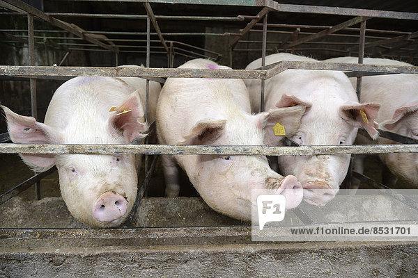 Schweine in Schweinemastanlage  Overath-Heiligenhaus  Nordrhein-Westfalen  Deutschland