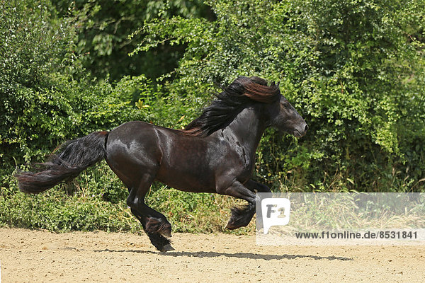 Fell-Pony  Deutschland