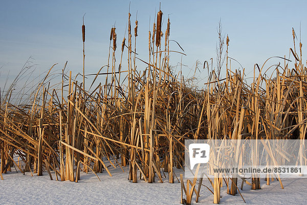 Cattails in winter  Strohauser Plate  Lower Saxony  Germany