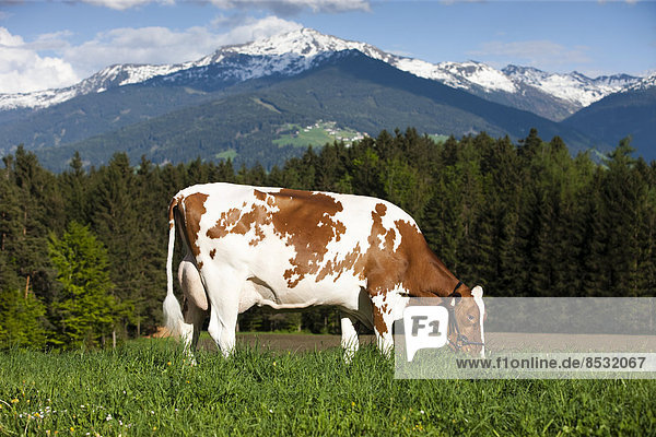 Red Holstein Cattle  dairy cattle wearing a halter and grazing on a meadow  North Tyrol  Austria