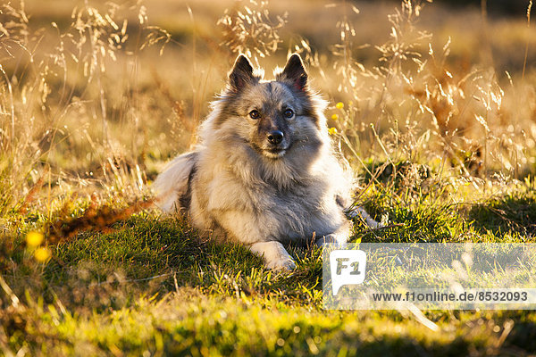 Keeshond or Wolfsspitz  lying on a meadow  backlit  Austria