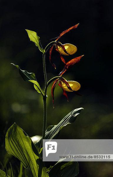 Frauenschuh (Cypripedium calceolus)  Tirol  Österreich