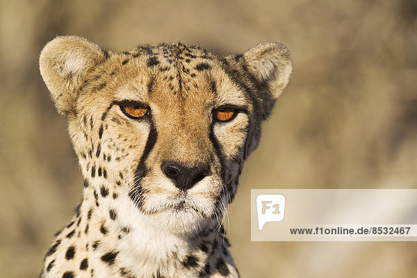 Gepard (Acinonyx jubatus)  Weibchen  Porträt  captive  Namibia