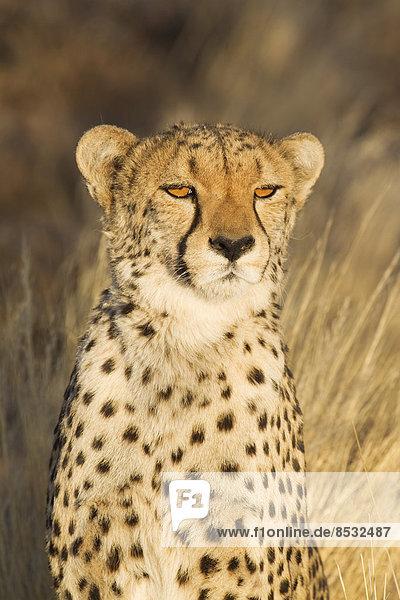Gepard (Acinonyx jubatus)  Weibchen im Abendlicht  captive  Namibia