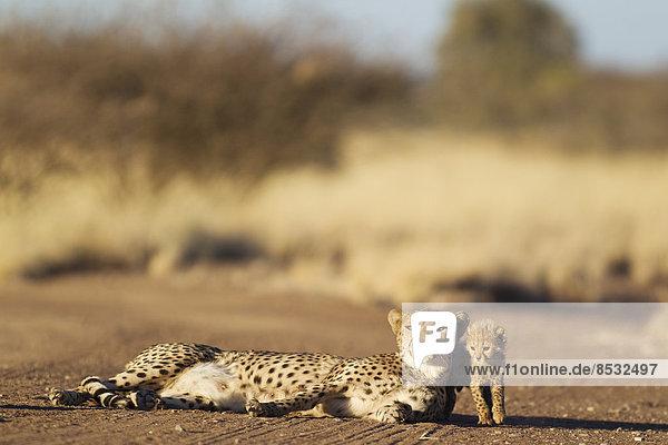 Gepard (Acinonyx jubatus)  Weibchen ruht mit seinem männlichen Jungtier  39 Tage  auf einem Feldweg  captive  Namibia