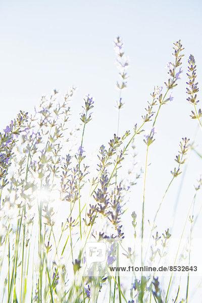 Blühender Lavendel in einem Bio-Kräutergarten