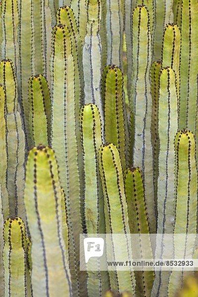 Kanaren-Wolfsmilch  Euphorbia canariensis  Teneriffa  Kanarische Inseln  Spanien Kanaren-Wolfsmilch, Euphorbia canariensis, Teneriffa, Kanarische Inseln, Spanien