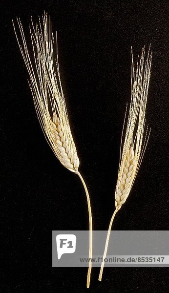 Zwei Weizenähren