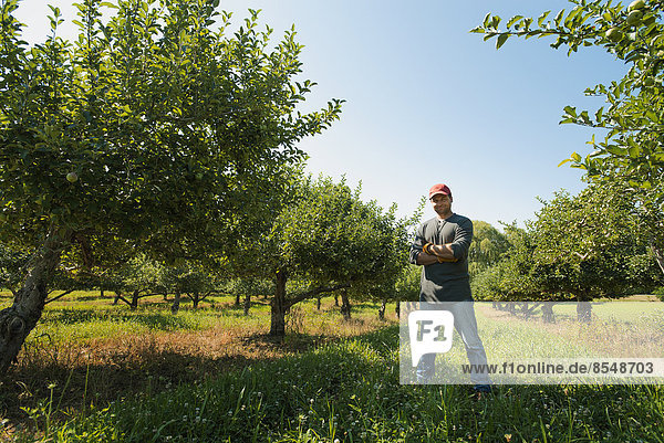 Ein Mann pflückt Äpfel in einem Obstgarten.