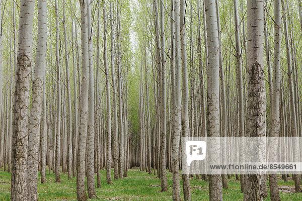 Pappelplantage  Baumschule mit hohen geraden Bäumen mit weißer Rinde in Oregon  USA