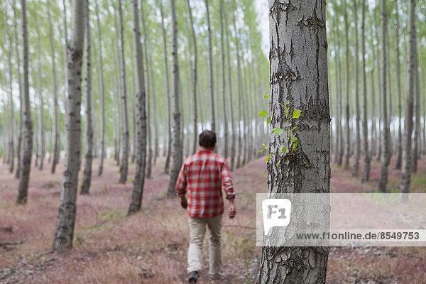Ein Mann in einem Wald von Pappelbäumen  Oregon  USA.
