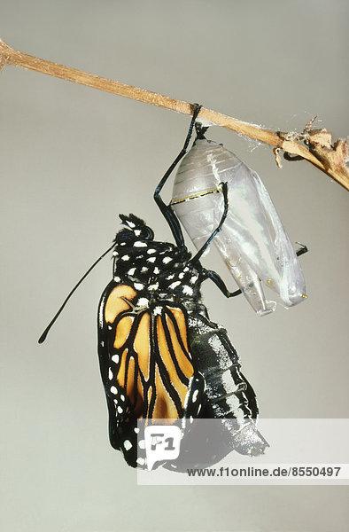 Monarchfalter,  der sich an der Schale einer Puppe festhält,  Danaus plexippus,  Mexiko