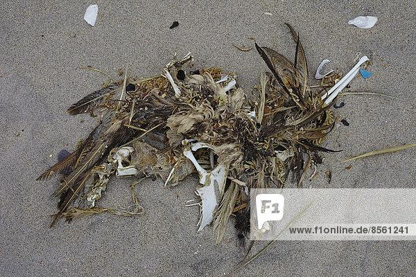 Überreste eines Vogels am Strand  Nationalpark Pan de Azúcar  Chile